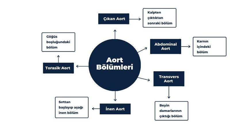 Aort Bölümleri